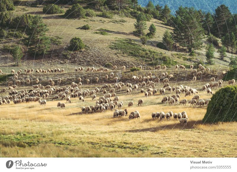 Flock of sheeps grazing in the field Beautiful Life Summer Mountain Environment Nature Landscape Plant Animal Tree Grass Hill Group of animals Herd To feed