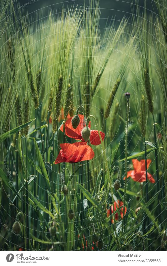 Poppy flowers among wheat spikes Beautiful Garden Nature Plant Flower Blossom Park Growth Fresh Natural Green Red Colour botanic botanical Botanical Garden