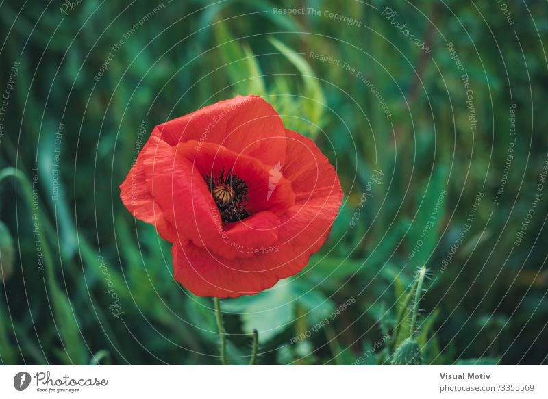 Red poppy flower and buds Beautiful Garden Nature Plant Flower Blossom Park Meadow Growth Fresh Natural Green Colour beauty in nature botanic botanical