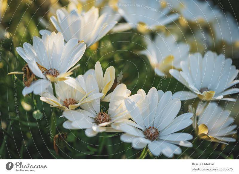 White daisy flowers at the afternoon Beautiful Garden Nature Plant Flower Park Growth Fresh Green Colour Flowering plant fragility Vulnerable Blossom leave
