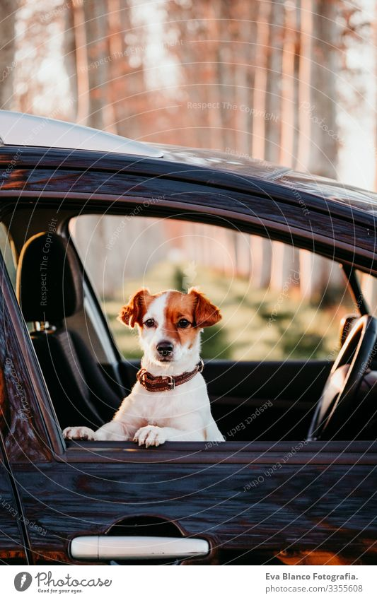portrait of cute jack russell dog in a car at sunset. Travel concept Open harness Window Trip White Seatbelt tour tourism Terrier Vantage point Ride Observe