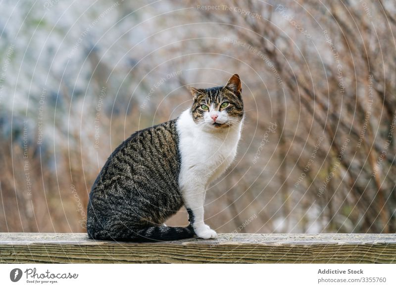 Striped cat sitting on wooden fence in mountain pet hill striped travel nature peak landscape stony tourism adventure animal scenery asturias lazy europe cute