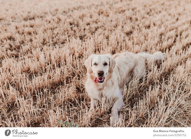 Adorable Golden Retriever dog in yellow field at sunset. Beautiful portrait of young dog. Pets outdoors and lifestyle Purebred Meadow Exterior shot Cute Nose
