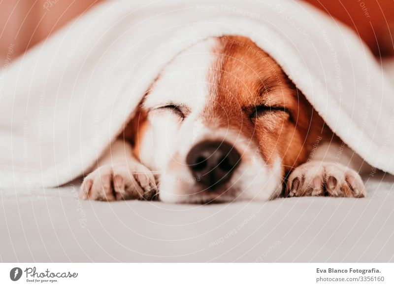 cute small jack russell dog resting on bed on a sunny day covered with a blanket Cute Dog Jack Russell terrier Sleep Fatigue Rest Resting eyes closed Snout