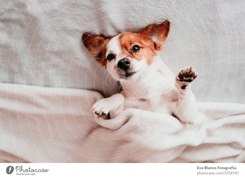 cute small jack russell dog resting upside down on bed on a sunny day Cute Dog Jack Russell terrier Sleep Fatigue Rest Resting eyes closed Snout Deserted