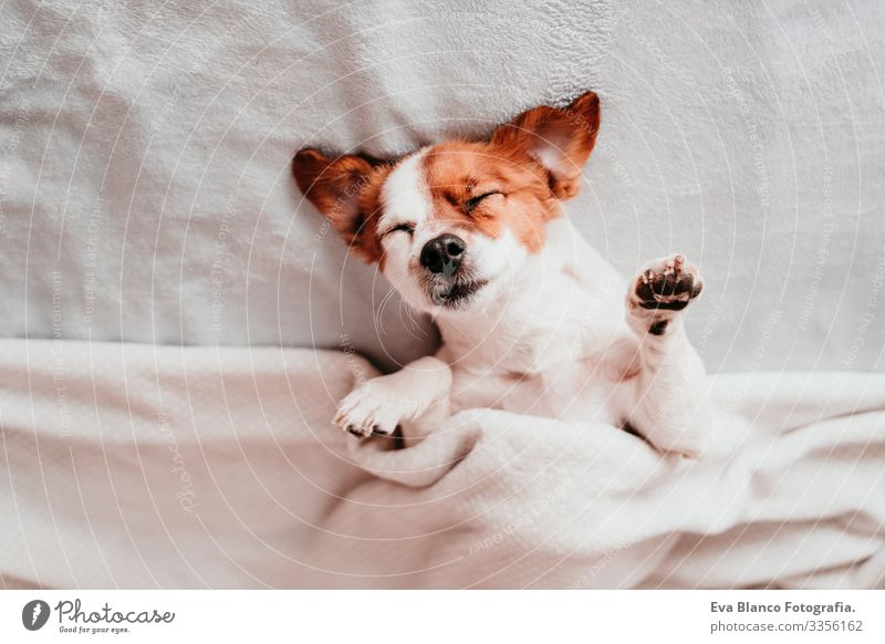v upside down Cute Dog Jack Russell terrier Sleep Fatigue Rest Resting eyes closed Snout Deserted To enjoy lazy snore Happy Safety (feeling of) Beautiful