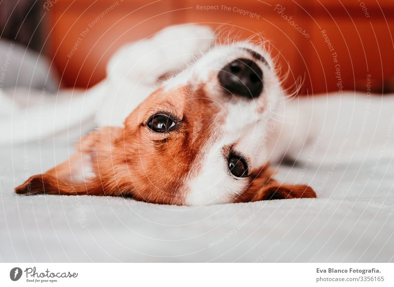 cute small jack russell dog resting on bed on a sunny day covered with a blanket upside down Cute Dog Jack Russell terrier Sleep Fatigue Rest Resting