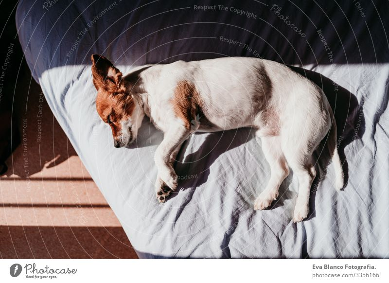 cute small jack russell dog resting on bed on a sunny day Cute Dog Jack Russell terrier Sleep Fatigue Rest Resting eyes closed Snout Deserted To enjoy lazy