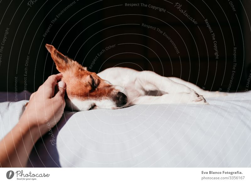 woman hand touching cute small jack russell dog resting on bed on a sunny day Hand owner Touch Cute Dog Jack Russell terrier Sleep Fatigue Rest Resting