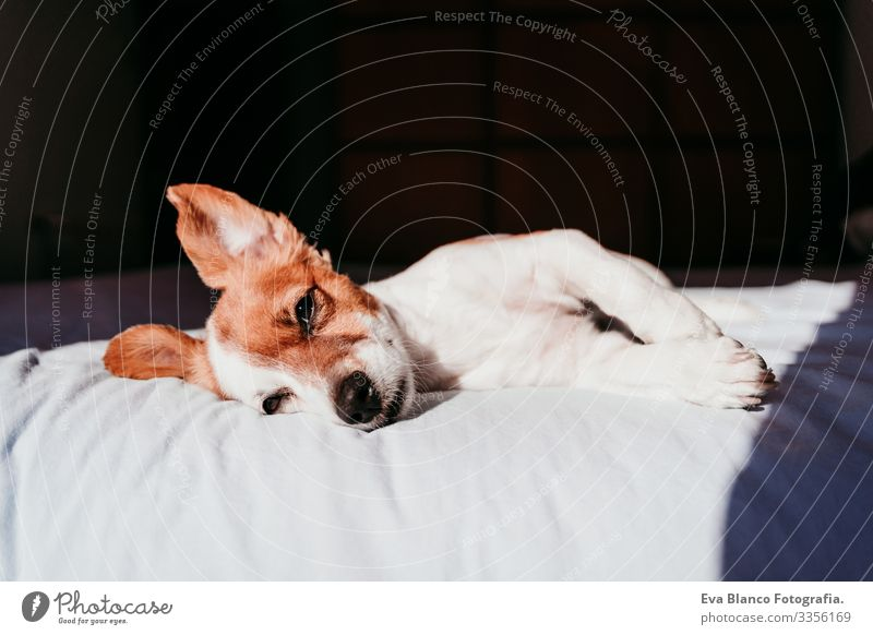 close up view of cute small jack russell dog resting on bed on a sunny day Cute Dog Jack Russell terrier Sleep Fatigue Rest Resting eyes closed Snout Deserted