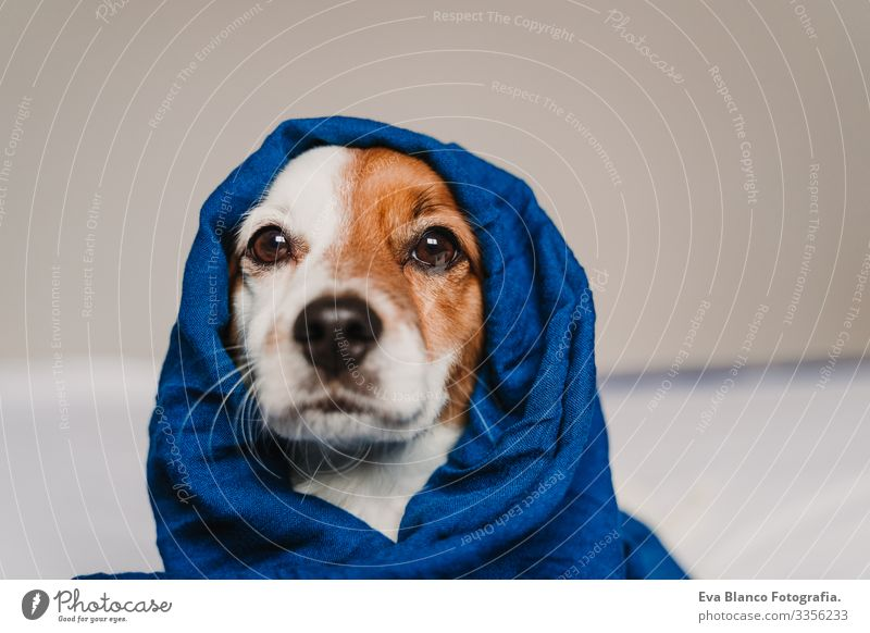 portrait of cute jack russell wrapped into a blue handkerchief Blue classic blue Scarf Handkerchief Dog Bed Cute Jack Russell terrier Resting Small Lovely