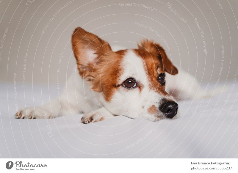 cute jack russell dog lying on bed listening with funny ear Dog Bed Cute Jack Russell terrier Resting Small Lovely Delightful Relaxation Autumn White Cover Pet