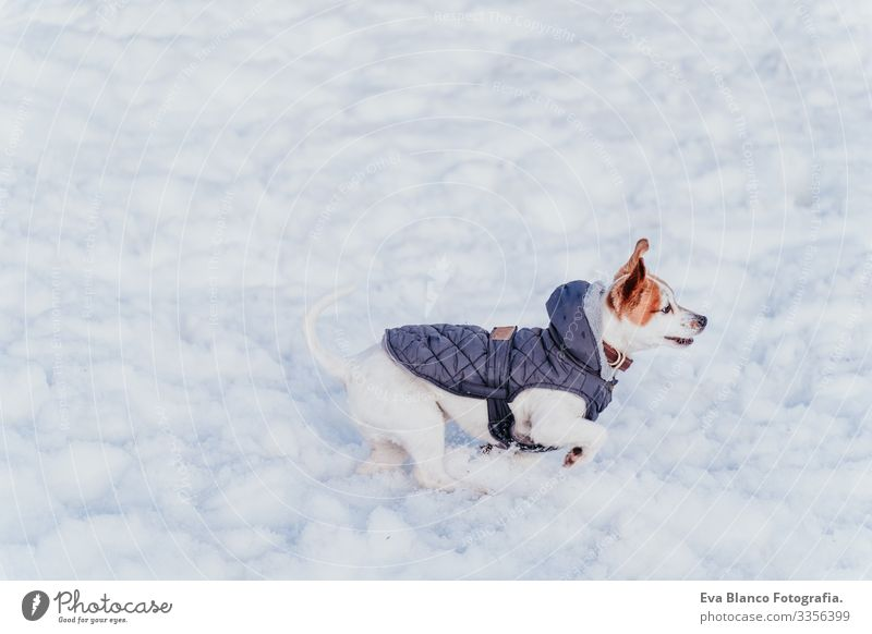 portrait outdoors of a beautiful jack russell dog playing and running at the snow. winter season Playing Playful Portrait photograph Dog Jack Russell terrier