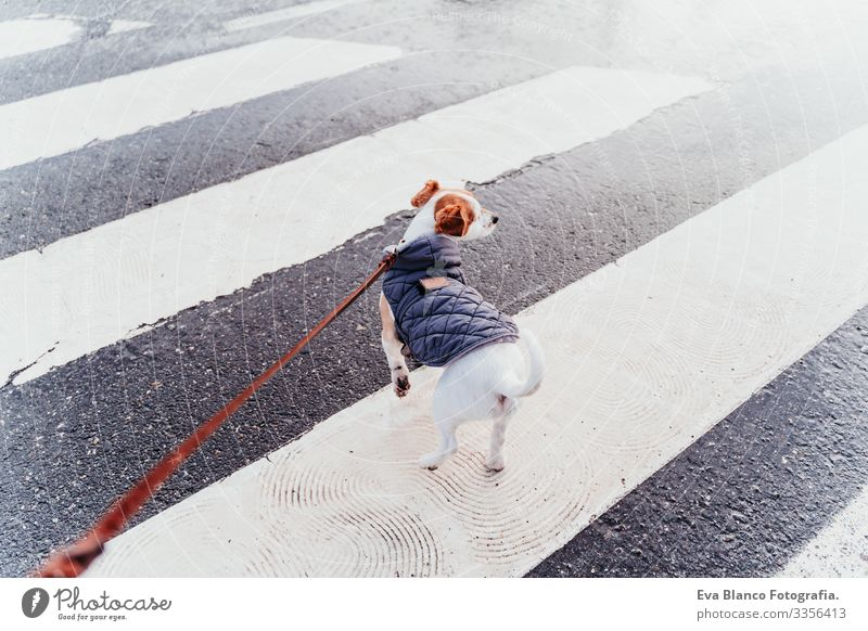 jack russell dog walking by pedestrian crossing. winter season Dog Jack Russell terrier Crossing Pedestrian City Winter Coat Leash Hand owner Pet Town Safety