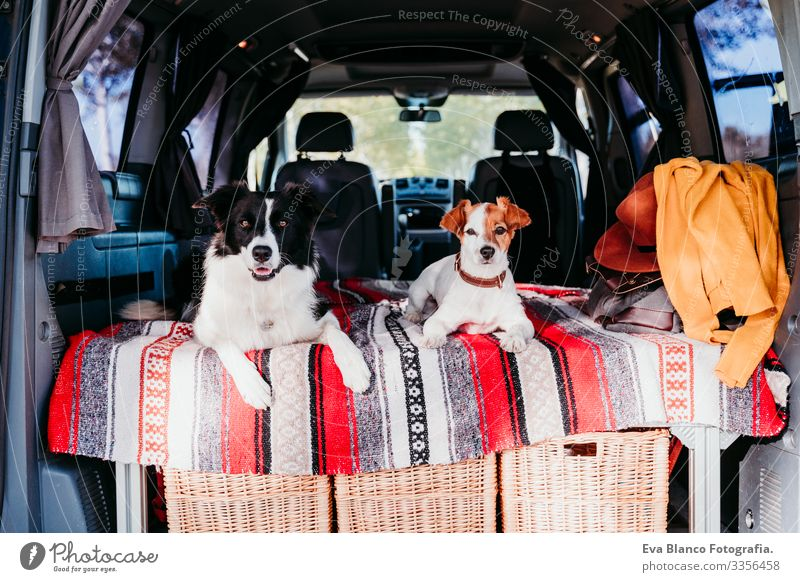 two cute dogs in a van, border collie and jack russell relaxing. travel concept 2 Dog Friendship Jack Russell terrier Terrier Van van life Vacation & Travel