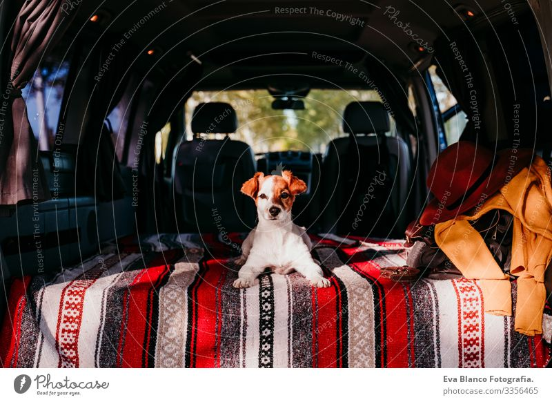 cute jack russell dog relaxing in a van. travel concept Cute Small Jack Russell terrier Dog Pet Van van life Vacation & Travel Traveling Friendship Together