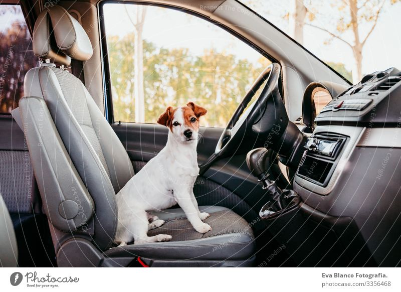 cute jack russell dog relaxing in a van. travel concept Jack Russell terrier Driving Car Sit Cute Wheel Drive Speed Happy Puppy Racing sports Pet Window