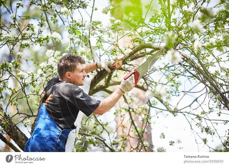 A man with a saw cuts a branch of a blooming apple tree Summer Garden Work and employment Gardening Tool Saw Man Adults Hand Nature Plant Tree Growth Green Cut