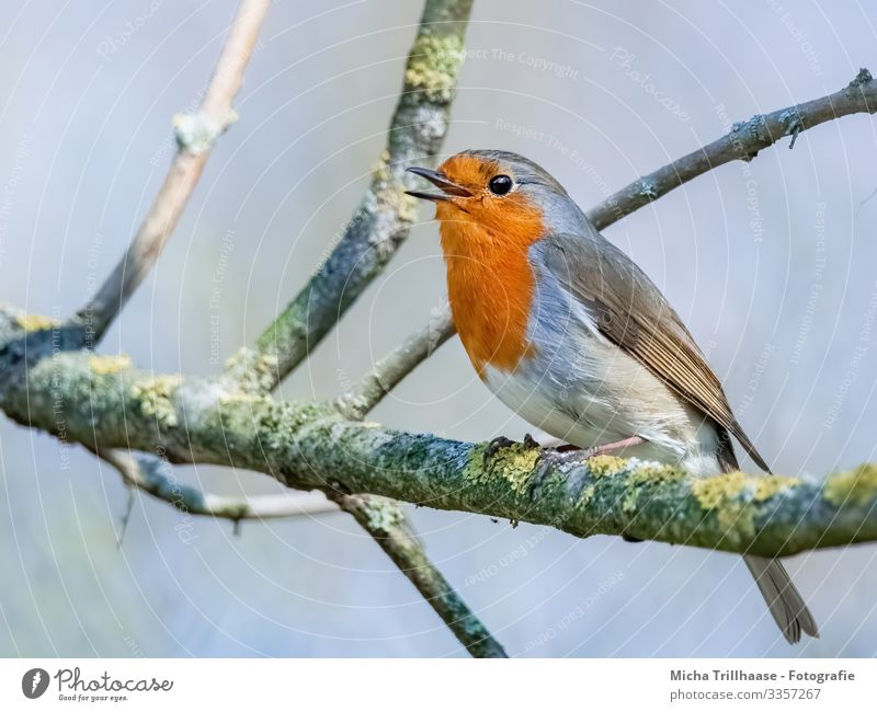Singing robin in a tree Nature Animal Sky Sun Sunlight Beautiful weather Tree Twigs and branches Wild animal Bird Animal face Wing Claw Robin redbreast Head