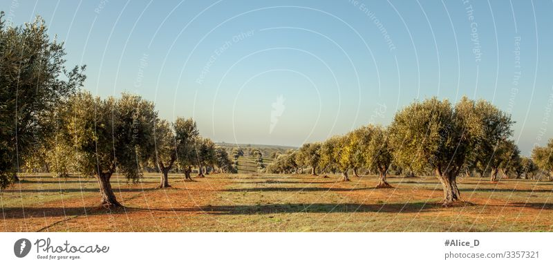 Olive grove in Alentejo Portugal Hiking Environment Nature Landscape Plant Earth Horizon Tree Agricultural crop Olive tree Meadow Field Authentic Far-off places