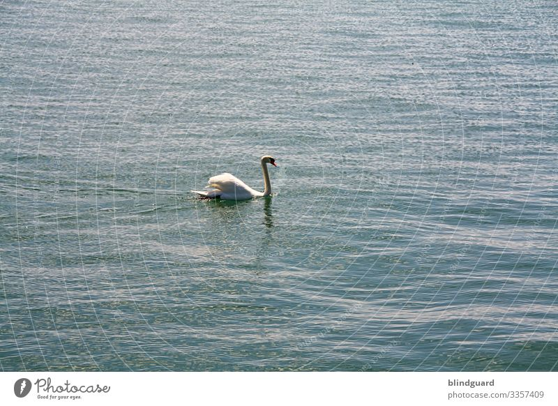 Swan Lake. Swan swims calmly on the waves of Lake Constance. Water Waves plumage feathers be afloat Noble Pride Blue White Beak Swimming & Bathing Animal birds