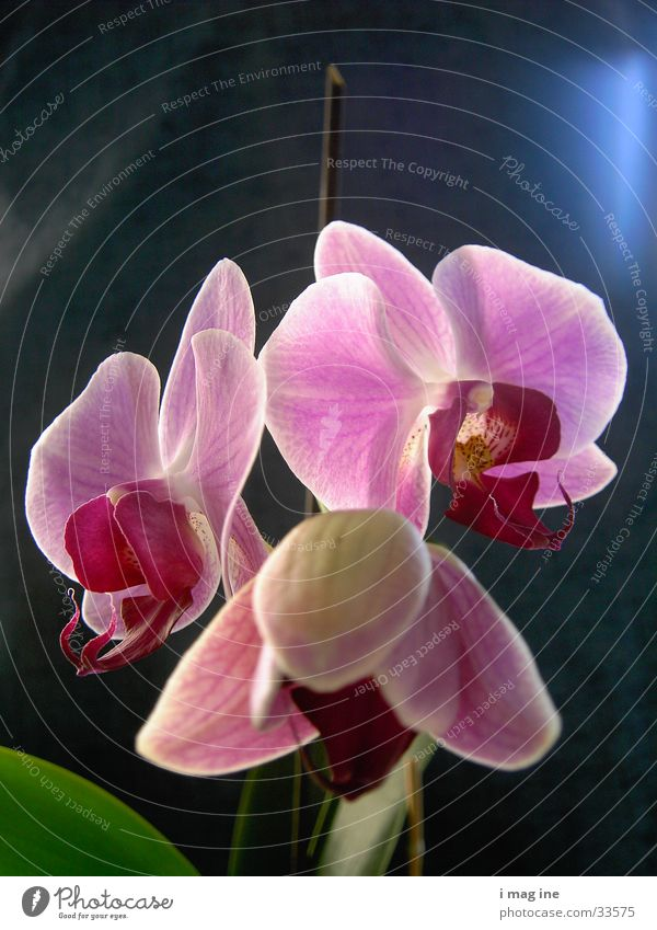 orchid Flower Blossom Orchid Plant 3 Macro (Extreme close-up) Close-up Nature Beautiful