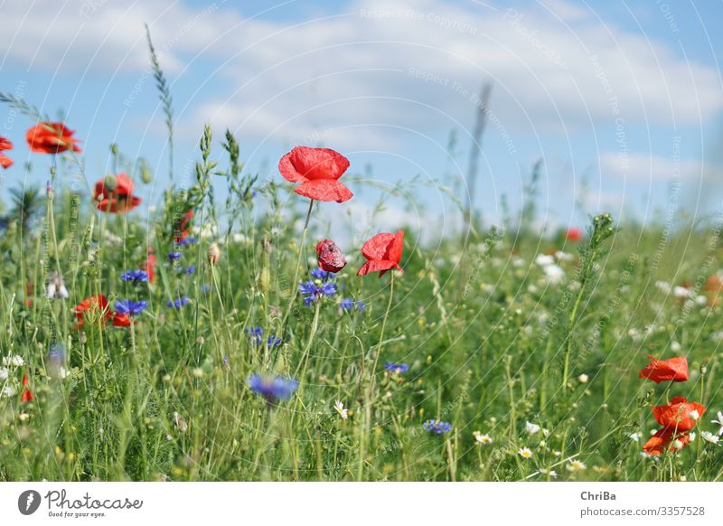poppies, cornflowers, blue sky, what more could you want? Environment Nature Landscape Plant Sky Clouds Sun Spring Summer Climate Beautiful weather Flower Grass