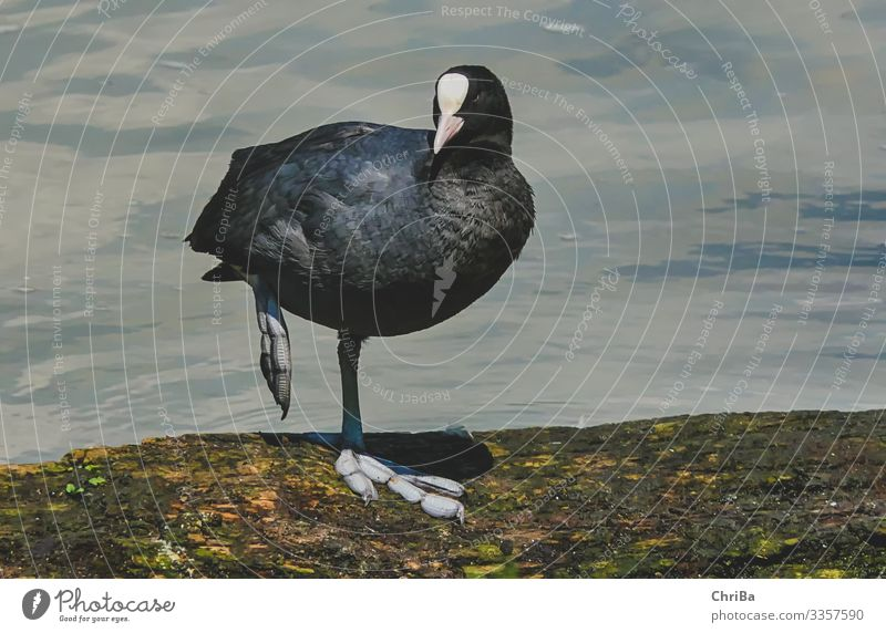 In a big way Nature Animal Water Waves Coast River bank Wild animal Bird Wing 1 Crouch Looking Friendliness Beautiful Black Contentment Joie de vivre (Vitality)
