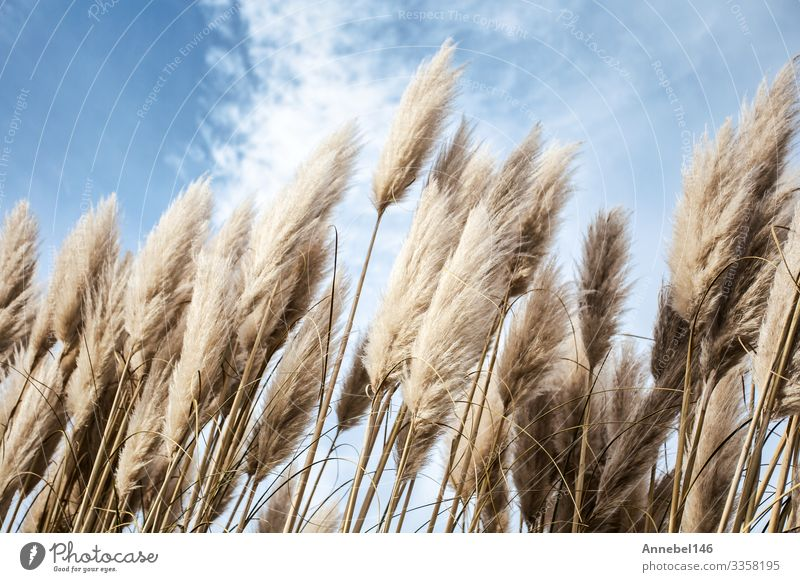 Pampas grass in the sky, Abstract natural background Beautiful Summer Garden Decoration Nature Plant Sky Flower Grass Natural Soft Blue Yellow Gold Gray Green