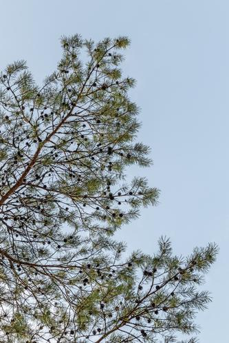 Pine tree branches against blue sky Summer Environment Nature Plant Sky Tree Park Forest Fresh Natural Clean Blue Green Colour coniferous Conifer Twig Evergreen