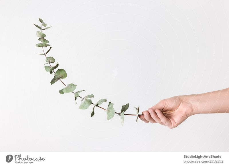 Female hand holding eucalyptus branch Elegant Style Design Beautiful Decoration Gardening Woman Adults Arm Hand Fingers Nature Plant Leaf Simple Hip & trendy
