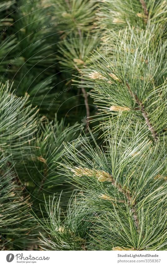 Fluffy pine tree branches Nature Plant Tree Growth Fresh Natural New Green Colour Pine coniferous Conifer needles Twig Evergreen spring young fluffy background