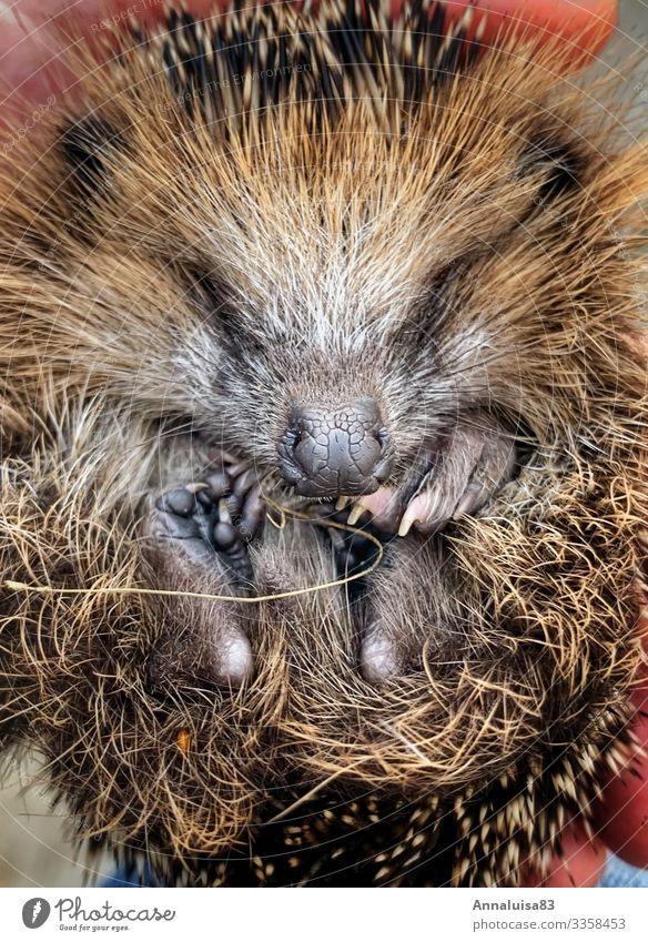 Animal Winter Baby animal Autumn Considerate Rescue Hedgehog