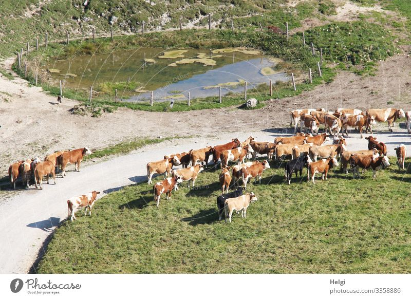 Herd of cows waiting at the uplift of the alp in spring Chiemgau Alps Mountain Landscape Environment Nature Cattleherd Movement of livestock Spring Meadow