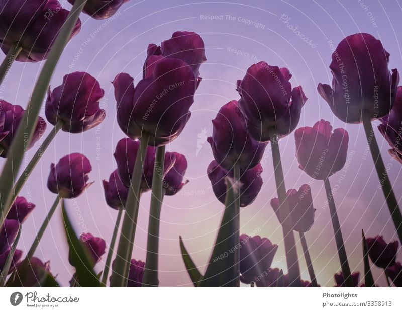 love of tulips Nature Plant Earth Sky Tulip Leaf Blossom Garden Park Field Beautiful Yellow Green Pink Tulip time Spring Ornamental plant Lily plants