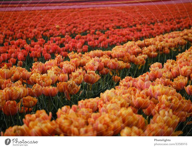 tulip sea Nature Landscape Plant Earth Spring Tulip Leaf Blossom Garden Park Field Elegant Long Natural Thin Multicoloured Yellow Green Orange Pink Red