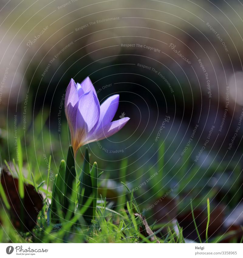 a small purple crocus is illuminated by the sun Environment Nature Plant Spring Beautiful weather Flower Grass Crocus Spring flowering plant Garden Blossoming