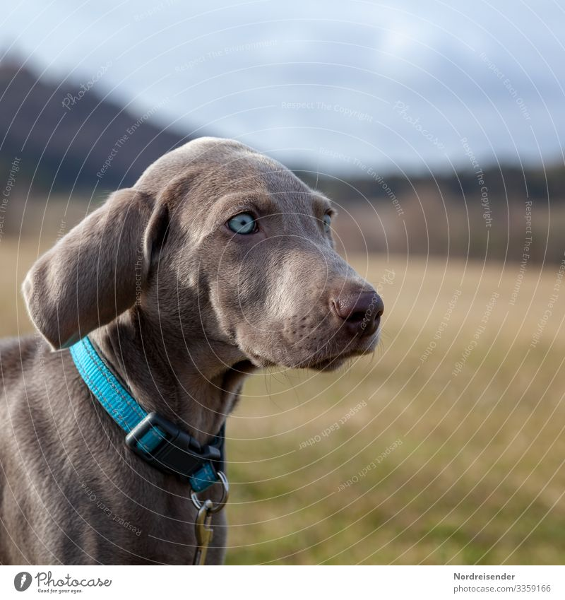 Weimaraner puppy discovers the world Puppy Dog Pet Animal Brown pretty Hound portrait Purebred Hunting Language Grass youthful joyfully Mammal Romp Small
