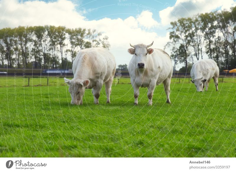 Tree white cows grazing in the field in the Netherlands Eating Beautiful Face Summer Group Environment Nature Landscape Animal Sky Grass Meadow Highway Cow Herd
