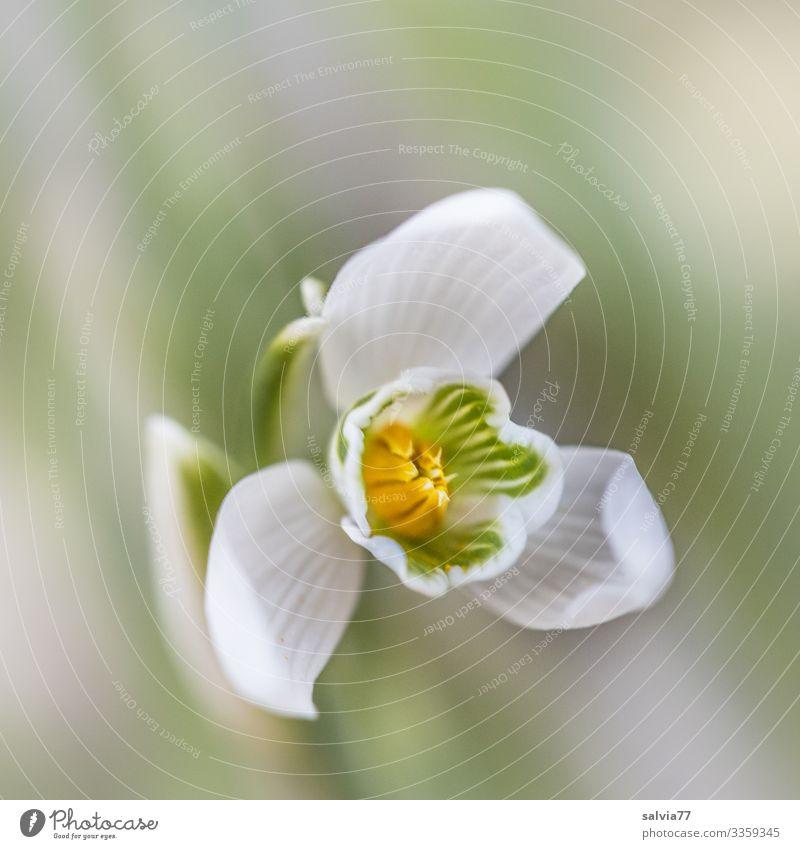 Nature Plant Flower Blossom Spring Garden Blossoming Fragrance Snowdrop Spring flowering plant