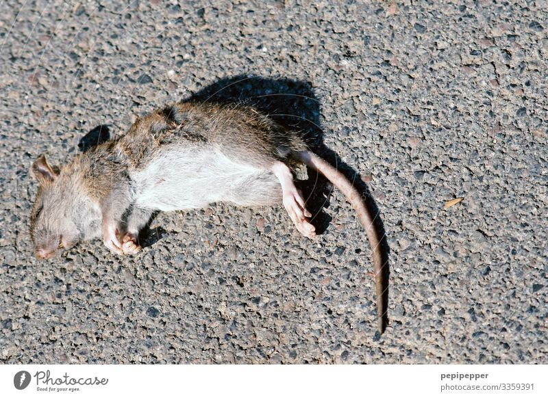 From the mouse Animal Wild animal Dead animal Mouse Animal face Pelt Claw Paw Rat 1 Stone Lie Gray Compassion Grief Death Apocalyptic sentiment Decline