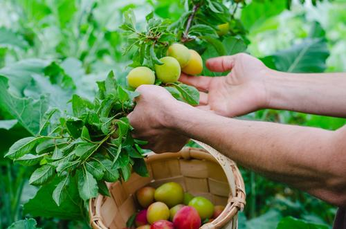 Man hands gathering plums. Rural scene. Fruit Nutrition Vegetarian diet Lifestyle Healthy Eating Wellness Summer Gardening Agriculture Forestry Industry Adults