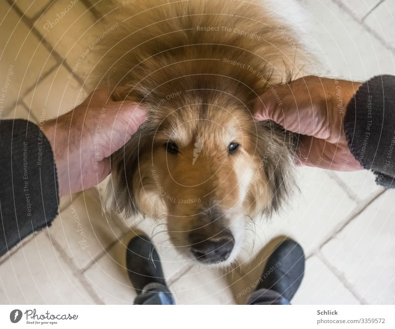 love of animals Animal Pet Dog 1 Brown Black White Contentment Love Collie Stroke Ear Slippers Love of animals Affection Pelt dog's nose Bird's-eye view Hand