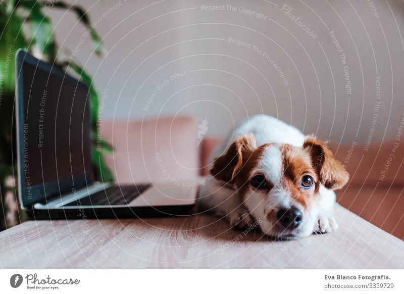 cute jack russell dog at home working on laptop office indoors pet technology computer screen website study typing keyboard space paw tablet pretty instructing
