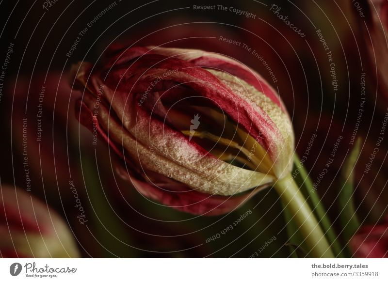 Withered tulip Nature Plant Spring Flower Tulip Blossom To dry up Dark Natural Red Variable Transience End Sadness Colour photo Interior shot