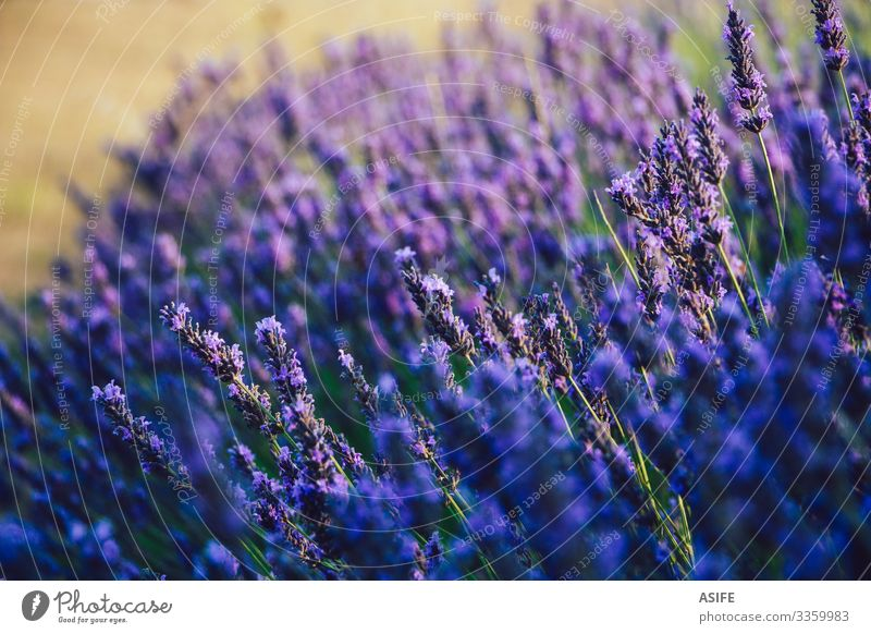 Selective focus of lavender flowers close up selective focus plant blooming blossom scent herb fields detail Provence France crop summer bud nature sunny purple