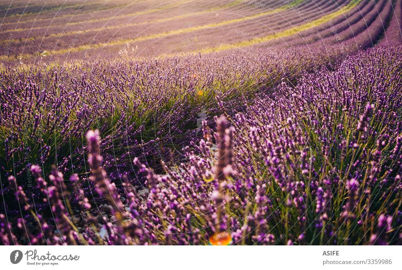 Blooming lavender field at sunset flower fields Provence France landscape crop summer nature plant sunny row purple color bloom beautiful beauty aroma fragrant