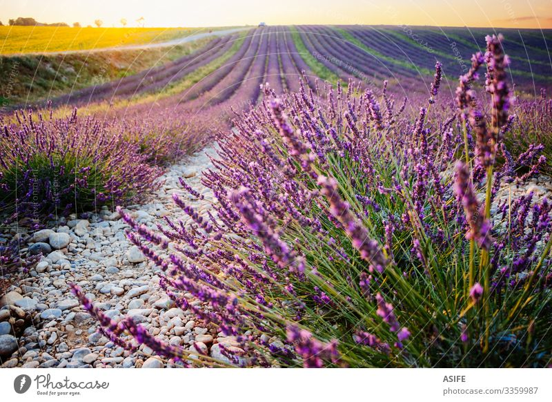 Lavender and sunflower fields in Provence, France lavender sunset landscape crop summer nature plant sunny row purple color bloom beautiful beauty aroma