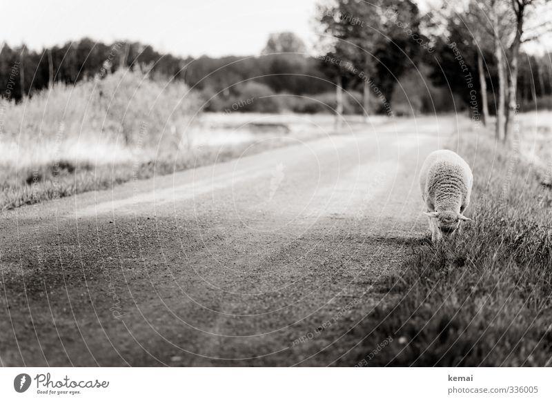 Helgiland Rasmus... Nature Tree Meadow Street Lanes & trails Animal Farm animal Pelt Sheep 1 To feed Loneliness Individual graze Black & white photo