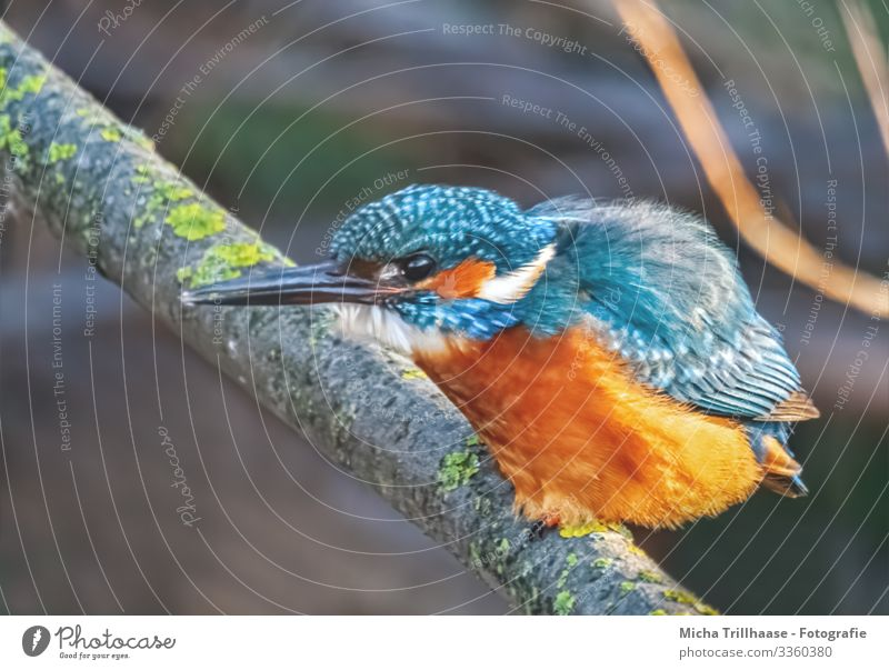 Kingfisher waiting for prey Environment Nature Animal Sunlight Beautiful weather Twigs and branches Lakeside River bank Wild animal Bird Animal face Wing Claw